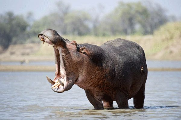 Hippo Pictures