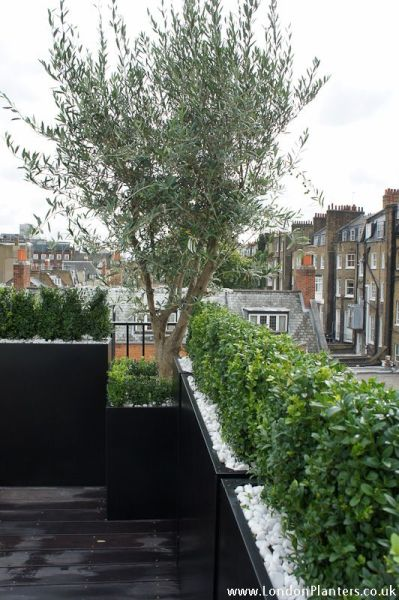 roof garden trees 79 best images about The Hardy Olive Tree on Pinterest