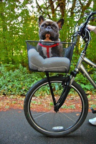 Dog bike carrier. ~Otis~ a 4-5 yrs old French Bulldog. He is in foster ...