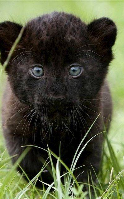 Best 2543 Black lion ideas on Pinterest Melanistic lion