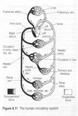 Circulatory System Diagram Worksheet | human circulatory