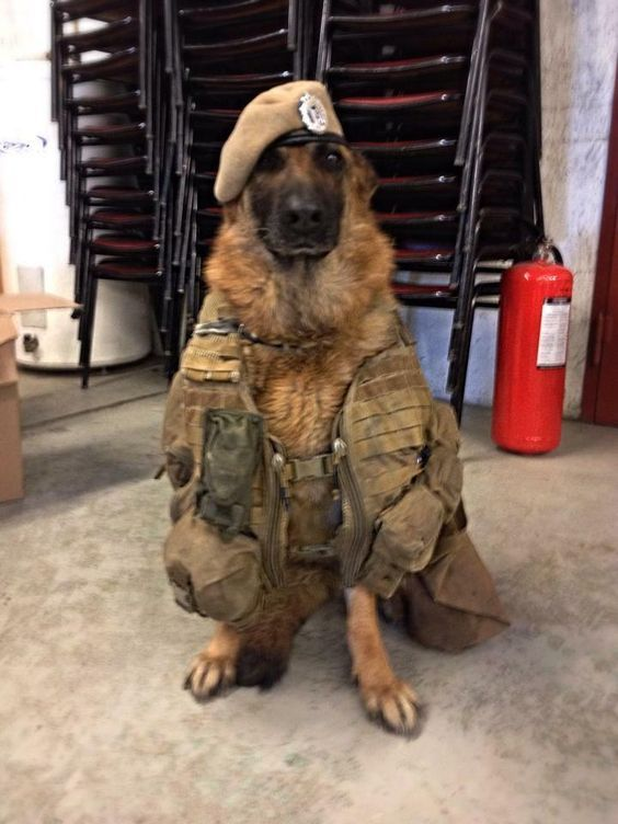 Best 25 War Dogs Ideas On Pinterest Military Dogs