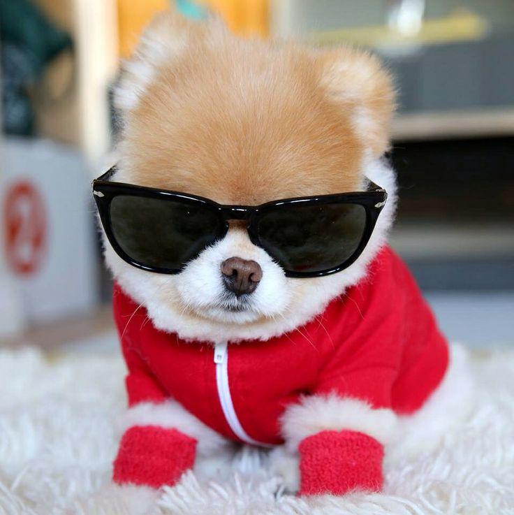 Boo Dog Wearing Sunglasses Amp Red Jacket Dogs Boo Amp Buddy