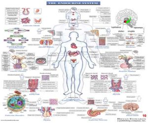 endocrine system (& vitamin D thing)   Secondary Science