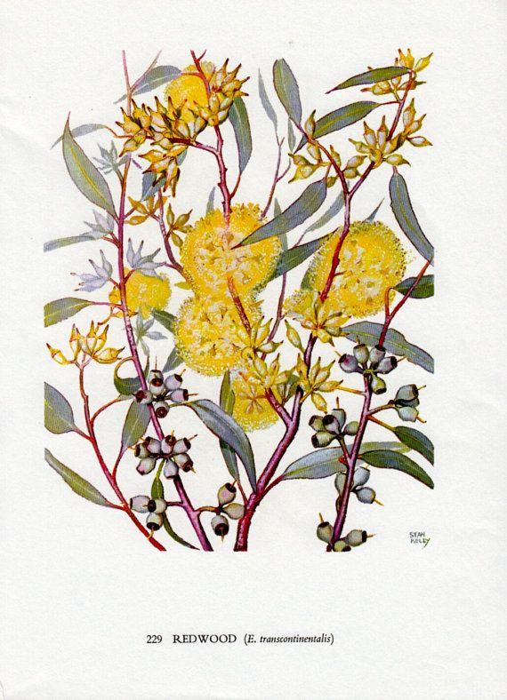 Australian GUM TREE With Yellow Flowers Native Eucalyptus