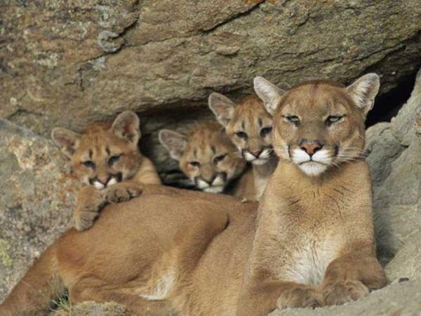 PUMA amp CUBS Mountain Lion or Cougar Belongs to