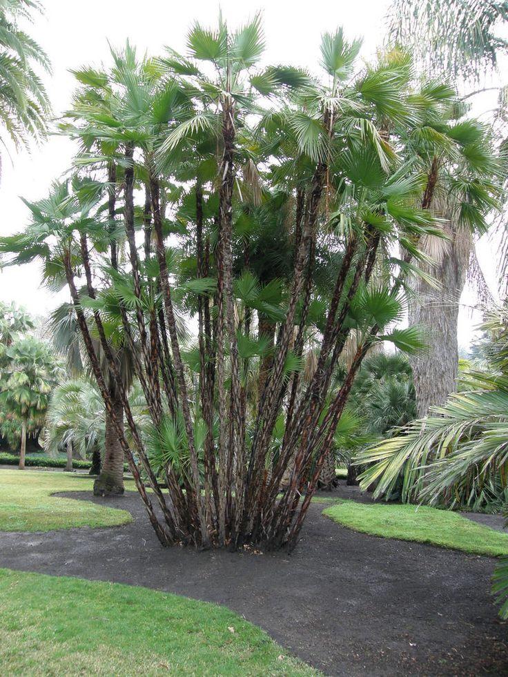 Paurotis Palm Acoelorrhaphe Wrightii Caribbean Mexico