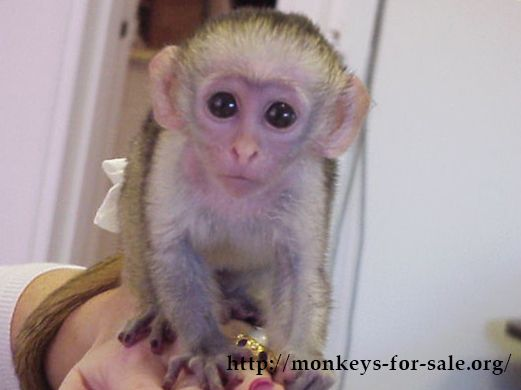 Capuchin Monkeys For Sale Can Easily Be Found As This