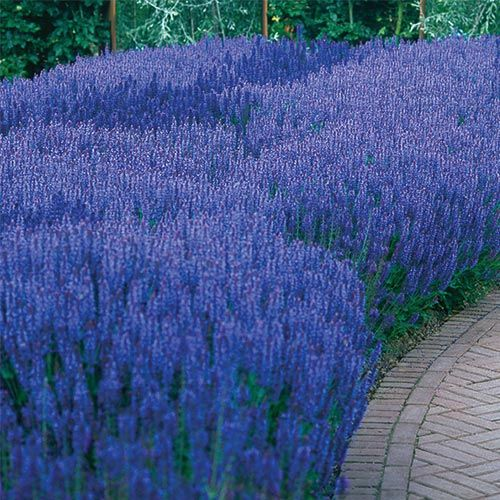 Blue Queen Salvia – Blooms profusely for months! Enjoy summer-long beauty year after year with this brilliant violet-blue Salvia,