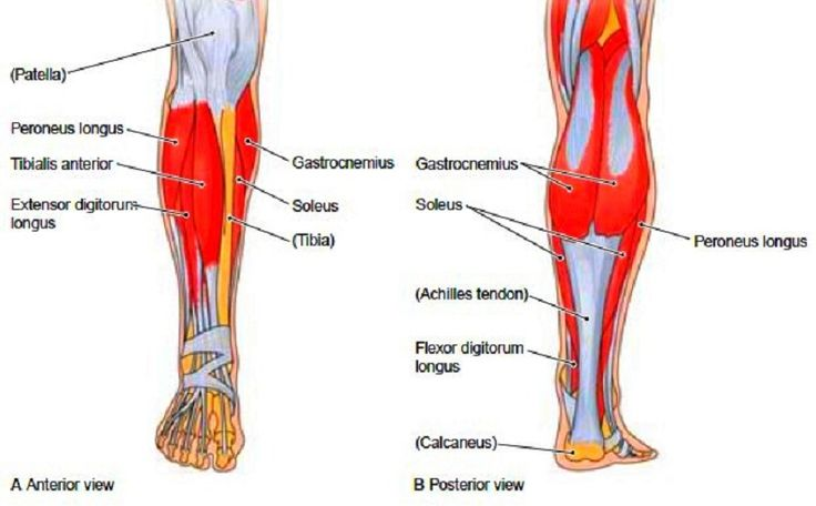 Muscles Of The Leg And Thigh