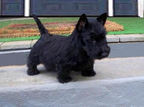 I CANTSTANDTHE CUTENESS Scottie Puppies Are The