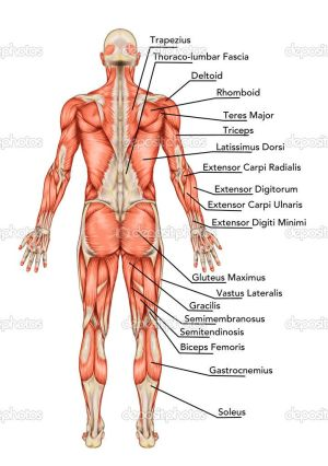 anatomy of body | Anatomy of male muscular system posterior view full body – didactic