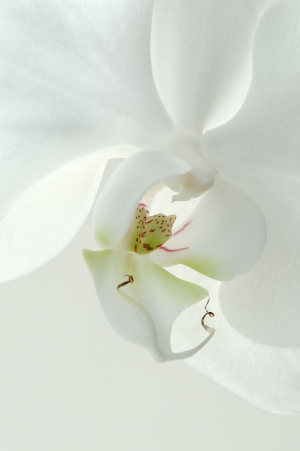17 Best Ideas About White Orchids On Pinterest Orchid Bouquet Orchid Delivery And White