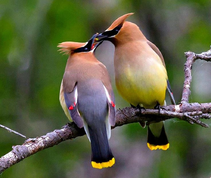 Cedar Waxwings | Most Beautiful Pages