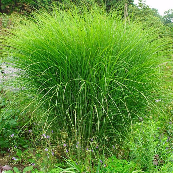 25 Best Ideas About Miscanthus Sinensis Gracillimus On