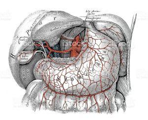 25 best ideas about Celiac artery on Pinterest   Upper