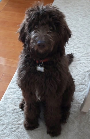 56 Best Labradoodle Haircut Images On Pinterest