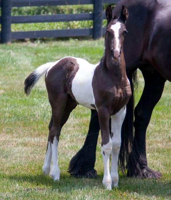 Dream Gaits Balinor Baroque Pinto Friesian foal