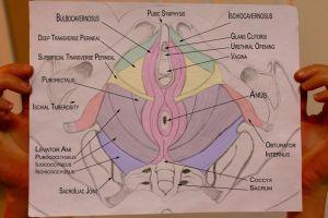 Pelvic Health & Alignment : Anatomy: Pelvic Floor Muscles