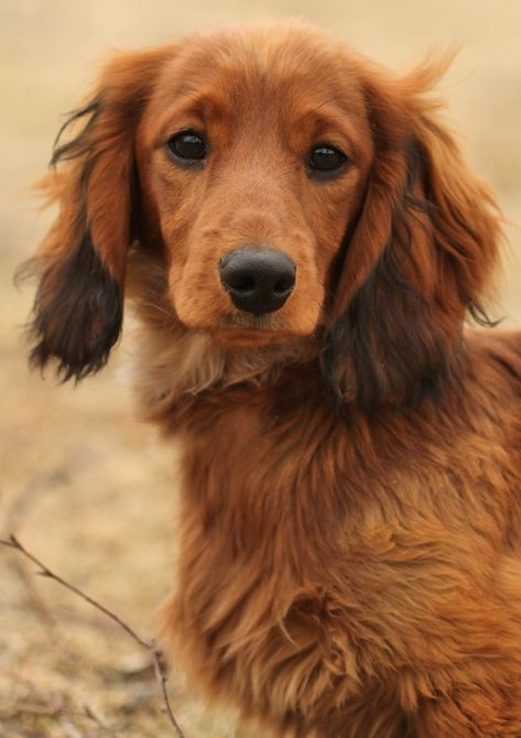44 Best Images About Longhaired Dachshunds On Pinterest