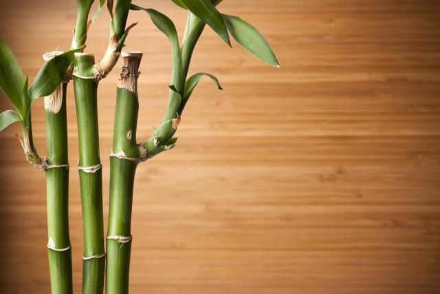 1000+ Ideas About Lucky Bamboo Plants On Pinterest