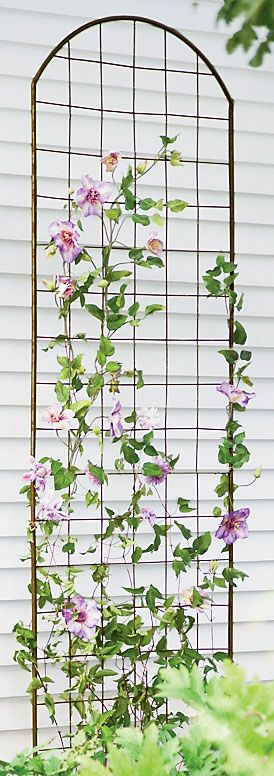 Tips on growing clematis–did you know they can't climb wooden trellises? They don't twine; they wrap, so any support thicker than