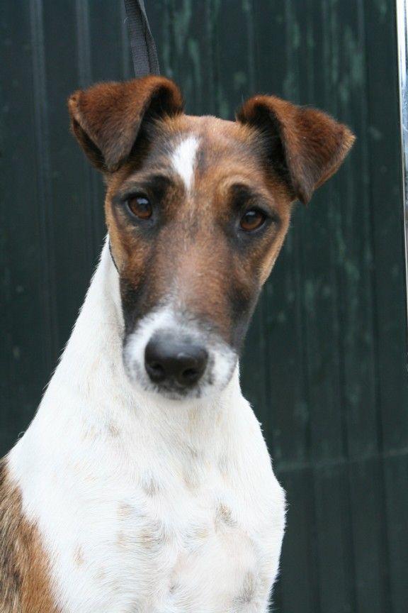 1000 Ideas About Fox Terriers On Pinterest Wire Fox