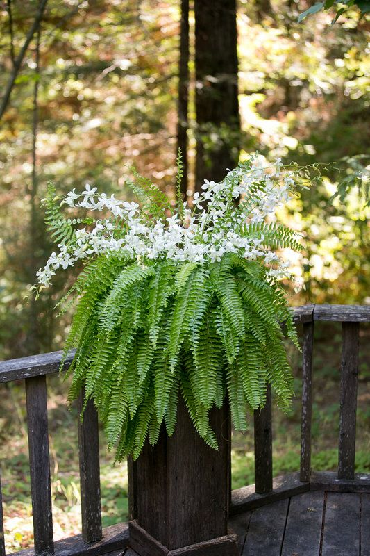 White Dendrobium Orchids Nestled On A Boston Fern And