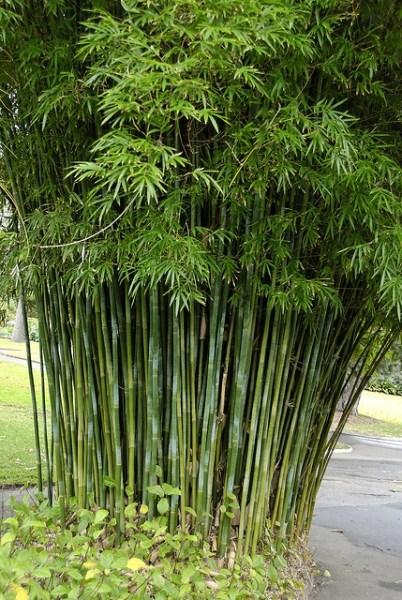 clumping bamboo garden 25+ best ideas about Clumping bamboo on Pinterest