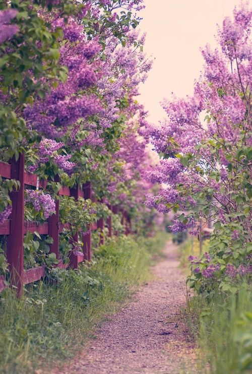 My favorite flower is the lilac…reminds me of Gering, NE and my Grandma Rosas