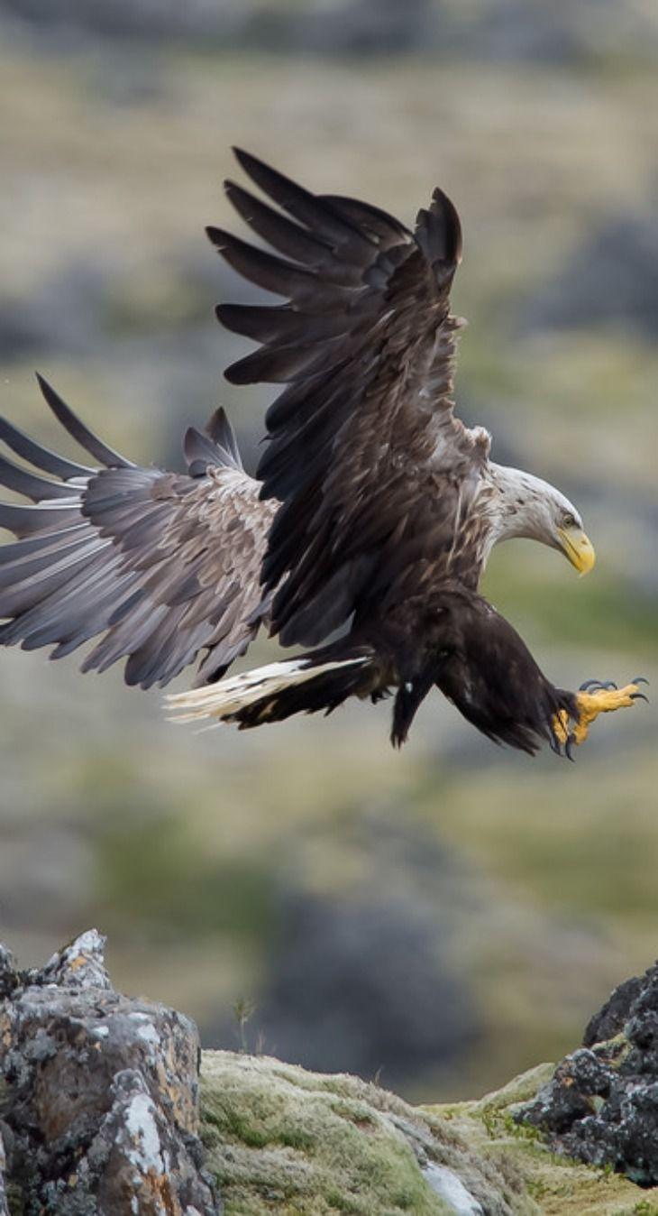 The White-tailed Eagle (Haliaeetus albicilla), Landing in Iceland