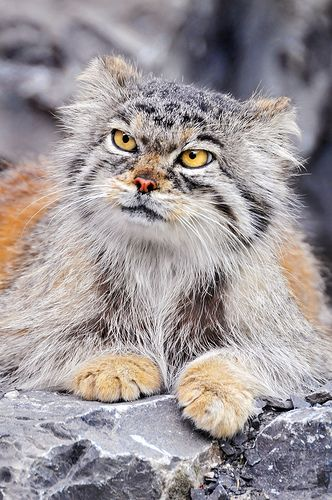 "The manul, an ancient breed of small cats, 12 million years old. They can't be domesticated and are classified as ""near"