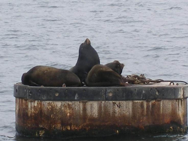 Sea Lions Puget Sound Washington State Sightings While