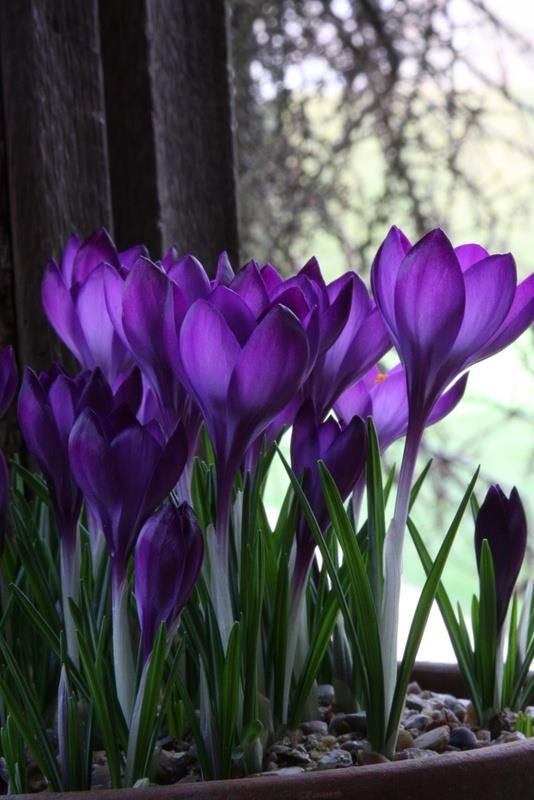 crocus – spring has arrived  **I place these bulbs in a shallow dish, pointy sid