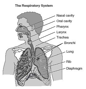 Respiratory system, Study guides and Study on Pinterest