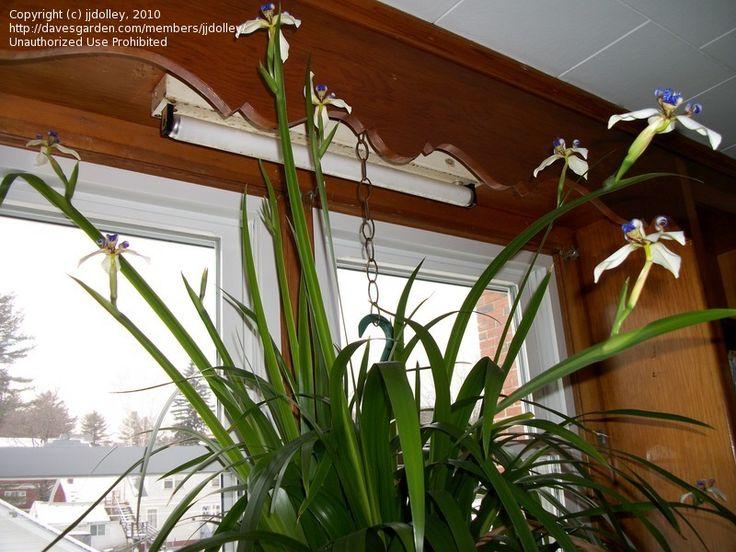 Walking Iris Apostle Plant Neomarica Gracilis House