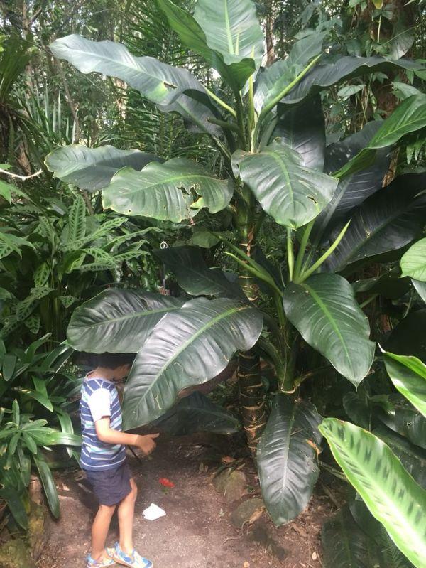 Largest dieffenbachia Ive ever seen Tropical Gardens