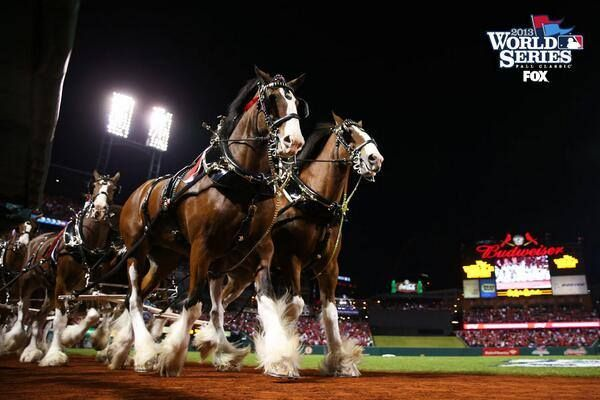 The Legendary Clydesdales Parade In Front Of An Adoring