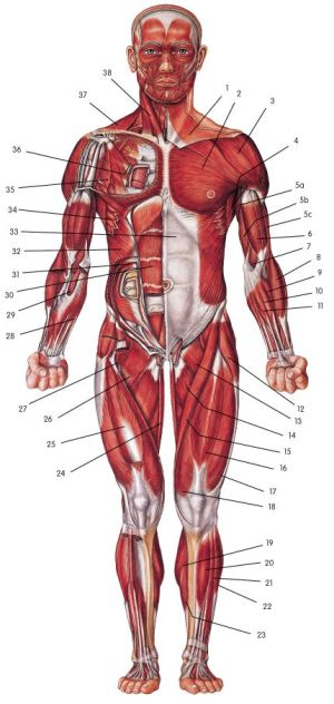 The muscle diagram unlabled http:papasteves | Gluten