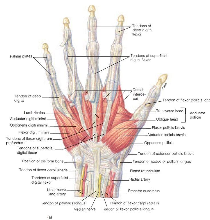 Diagram Of The Distal Radius Wrist Bones