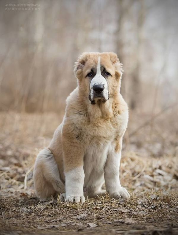 Alabai dog breed (Central Asian Shepherd) | Anima candida ...