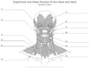 Blank Head and Neck Muscles Diagram | body muscles