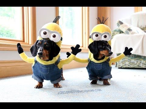 These are dachshunds…dressed as Minions!