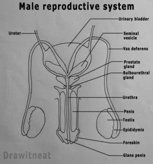 25 best ideas about Reproductive system ans on