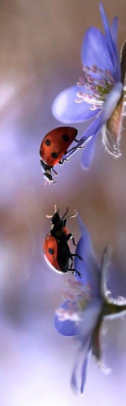 Ladybugs Spring