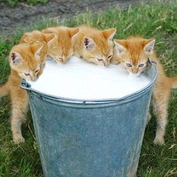 Kittens at the milk pail. Adorable.♥