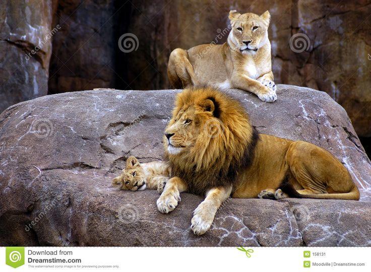 Lion Family - Google Search