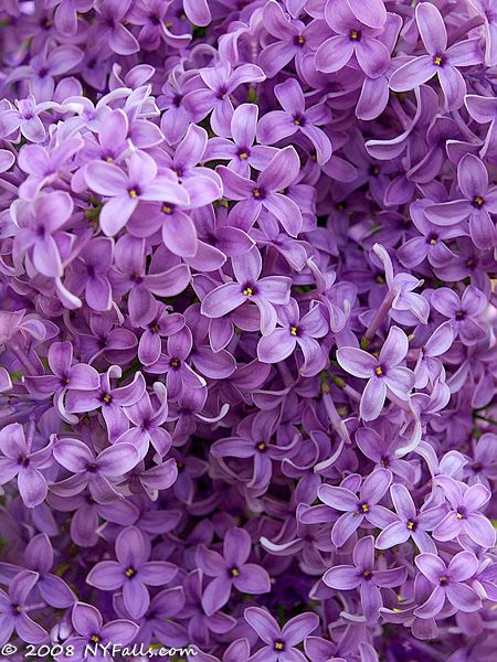 Purple Lilacs…growing up we had some by the kitchen window…open the window and it was