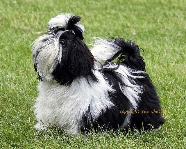 1000 Images About Shih Tzu On Pinterest Big Thing