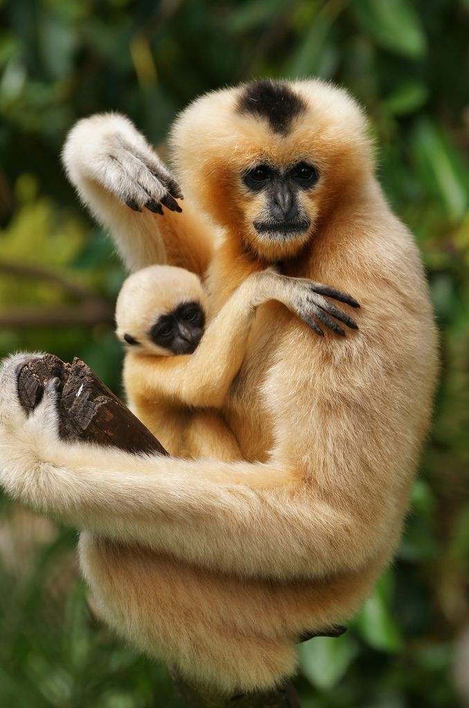 White Cheeked Gibbons Are Born Golden In Colour Before